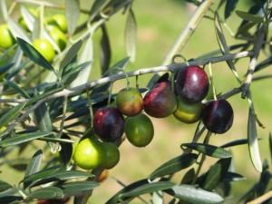 オリーブオイルの種類や用途の違いなどアヒージョとサラダならドレ?