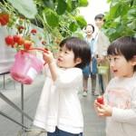 いちご狩り広島ならどこ?人気イチゴ園7選!30~40分食べ放題!